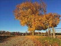 Un albero sparge le sue foglie dorate Fotografia Stock Libera da Diritti