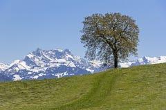 Un albero sta stando sul prato nelle alpi svizzere Immagini Stock Libere da Diritti