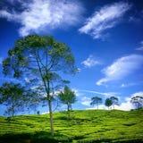 Un albero sulla parte anteriore della piantagione di tè Immagini Stock Libere da Diritti