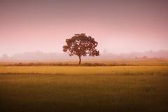 Un albero in una risaia file Fotografia Stock