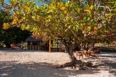 Un albero variopinto alla spiaggia tropicale dell'ancona in Cuba Fotografia Stock Libera da Diritti