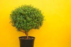 Un albero verde su una priorità bassa gialla Immagini Stock