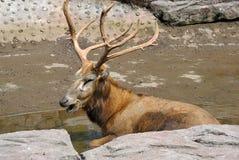Un alce de Bull Foto de archivo libre de regalías