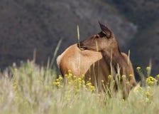 Un alce de la vaca que se coloca en un campo de la hierba y de los wildflowers imagenes de archivo