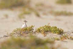 Un alexandrinus adulto del Charadrius del fratino che foraggia nel deserto sull'isola del Capo Verde immagine stock libera da diritti