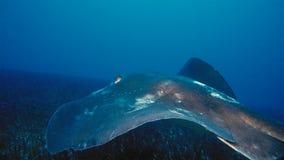 Un alfredi de Manta de rayon de Manta nage au-dessus d'un sommet océanique en parc national de Komodo, Indonésie Des Mantas sont  photographie stock libre de droits