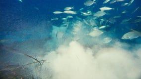 Un alfredi de Manta de rayon de Manta nage au-dessus d'un sommet océanique en parc national de Komodo, Indonésie Des Mantas sont  photo libre de droits