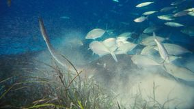 Un alfredi de Manta de rayon de Manta nage au-dessus d'un sommet océanique en parc national de Komodo, Indonésie Des Mantas sont  images libres de droits