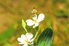 Un alimentador del néctar del abejorro en una flor blanca Imagen de archivo