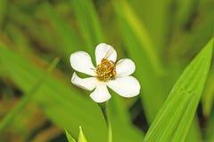 Un alimentador del néctar del abejorro en una flor blanca Imágenes de archivo libres de regalías