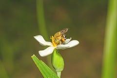 Un alimentador del néctar del abejorro en una flor blanca Foto de archivo
