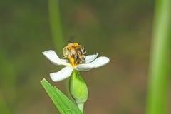 Un alimentador del néctar del abejorro en una flor blanca Foto de archivo libre de regalías