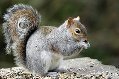 Un'alimentazione adulta di Grey Squirrel (carolinensis dello Sciurus). Immagine Stock