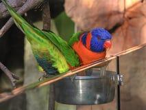 Un'alimentazione australiana di due lorikeets dell'arcobaleno Fotografia Stock