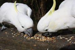 Un'alimentazione dei due cockatoos Fotografia Stock