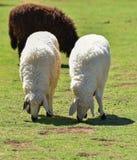 Un allevamento di pecore Immagini Stock