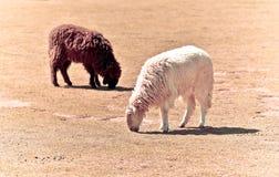Un allevamento di pecore Immagine Stock