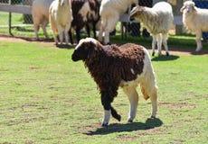 Un allevamento di pecore Fotografia Stock