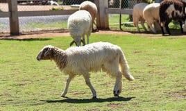 Un allevamento di pecore Fotografia Stock Libera da Diritti