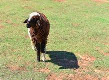 Un allevamento di pecore Fotografie Stock Libere da Diritti