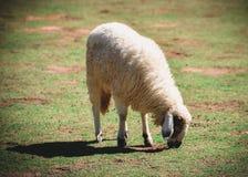 Un allevamento di pecore Immagini Stock Libere da Diritti