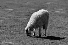 Un allevamento di pecore Fotografie Stock