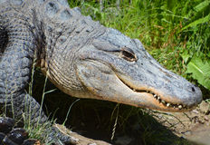 Un alligator Images libres de droits