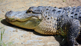 Un alligator Photographie stock libre de droits