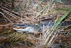 Un alligator se situant dans un marais Photo libre de droits