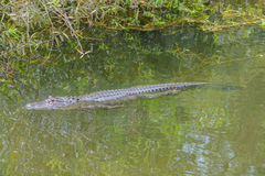 Un alligator mississippiensis nel largo, Florida dell'alligatore americano Fotografia Stock Libera da Diritti