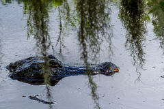 Un alligator sauvage Photos libres de droits