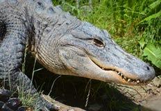 Un alligatore Immagini Stock Libere da Diritti