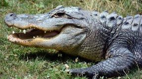 Un alligatore Fotografie Stock Libere da Diritti