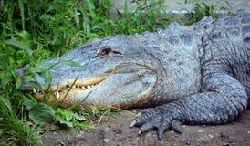 Un alligatore Fotografia Stock Libera da Diritti