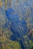Un alligatore accorto Fotografia Stock Libera da Diritti