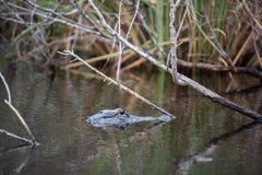 Un alligatore al parco nazionale dei terreni paludosi in Florida Fotografie Stock Libere da Diritti