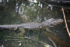Un alligatore americano Immagini Stock Libere da Diritti