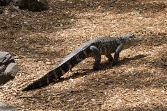Un alligatore americano in Australia Immagini Stock Libere da Diritti
