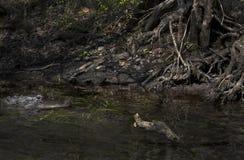 Alligatore della madre che guarda sopra i bambini Fotografie Stock Libere da Diritti