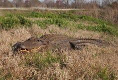 Alligatore nel selvaggio Immagine Stock Libera da Diritti