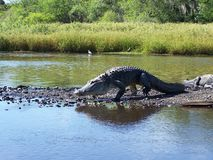 Un alligatore cammina su una spiaggia Fotografia Stock