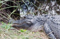 Un alligatore che resta estremamente ancora, con gli occhi si apre Immagine Stock Libera da Diritti