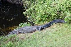 Un alligatore che resta estremamente ancora, con gli occhi si apre Fotografia Stock