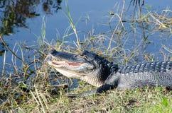 Un alligatore con la bocca aperta Fotografie Stock Libere da Diritti