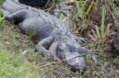 Un alligatore di sonno Immagine Stock