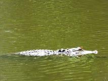 Un alligatore in un fiume in Carolina del Sud Fotografie Stock