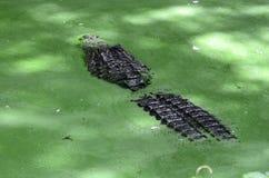Un alligatore nell'acqua verde Fotografia Stock Libera da Diritti