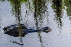 Un alligatore selvaggio Fotografie Stock Libere da Diritti