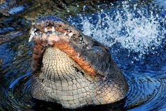 Un alligatore selvaggio del toro che batte coda nel rituale accoppiamento Fotografia Stock
