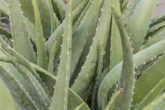 Un aloe Vera Plant Close Up Immagine Stock Libera da Diritti